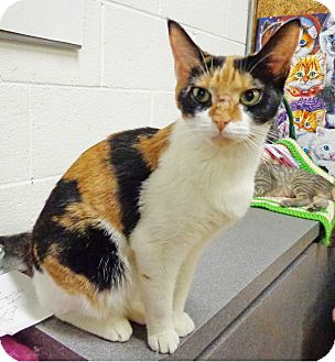 Domestic Shorthair Cat for adoption in Trevose, Pennsylvania - Callie