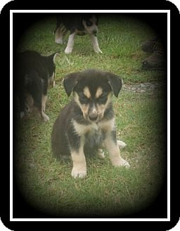 Alaskan Malamute/Siberian Husky Mix Puppy for adoption in Indian Trail, North Carolina - Macy