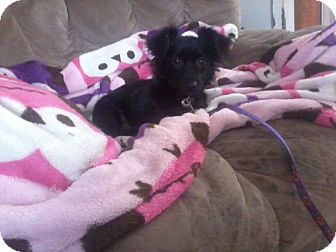 Papillon/Chihuahua Mix Dog for adoption in Houston, Texas - OLIVIA