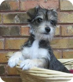 Terrier (Unknown Type, Small) Mix Puppy for adoption in Benbrook, Texas - Star