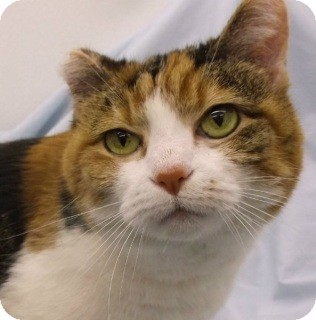 Calico Cat for adoption in Olive Branch, Mississippi - Mia
