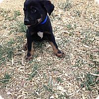 Adopt A Pet :: Samsus - Westminster, CO