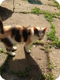Calico Cat for adoption in Medford, New Jersey - Sweety Pie (Jeannie cat)