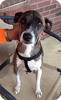 Italian Greyhound/Whippet Mix Dog for adoption in Union City, Tennessee - Tigger
