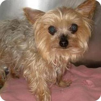 Yorkie, Yorkshire Terrier Mix Dog for adoption in Beach Park, Illinois - Hannah