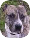Staffordshire Bull Terrier Mix Dog for adoption in Eatontown, New Jersey - Sweetie