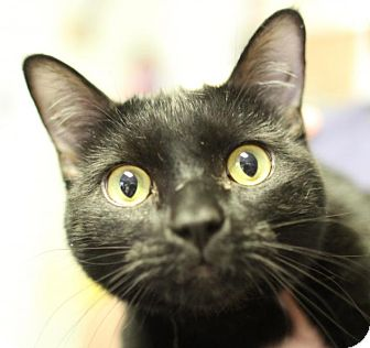 Domestic Shorthair Cat for adoption in Winston-Salem, North Carolina - Ace