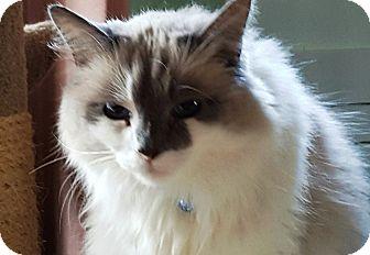 Ragdoll Cat for adoption in Pasadena, California - Boomy