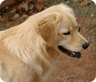 Chow Chow/Golden Retriever Mix Dog for adoption in Yukon, Oklahoma - Buster