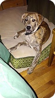 Plott Hound Puppy for adoption in St. Paul, Minnesota - Nucky