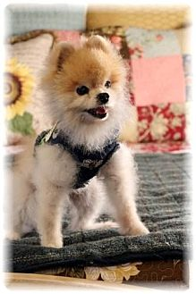 Pomeranian Dog for adoption in Dallas, Texas - Peadi