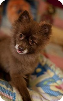 Pomeranian Dog for adoption in Dallas, Texas - Spooky Doo