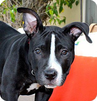 Mastiff/Pit Bull Terrier Mix Puppy for adoption in Los Angeles, California - Lexus