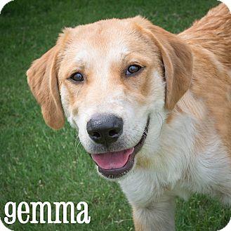 Golden Retriever/Labrador Retriever Mix Puppy for adoption in Plano, Texas - Gemma