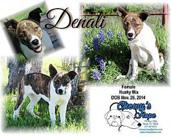 Husky/Akita Mix Puppy for adoption in Boyd, Texas - Denali