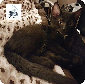 Domestic Shorthair Kitten for adoption in Hamilton, Ontario - Spunky