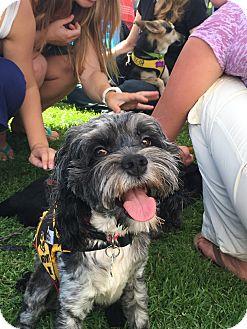 Schnauzer (Miniature)/Poodle (Miniature) Mix Puppy for adoption in Santa Barbara, California - Marley