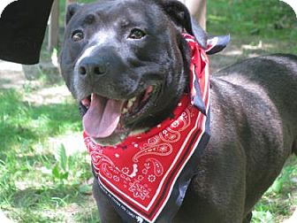 Labrador Retriever Mix Dog for adoption in Voorhees, New Jersey - Shadow