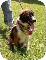 St. Bernard Mix Puppy for adoption in Murfreesboro, Tennessee - Oliver