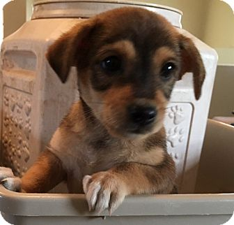 Pomeranian/Chihuahua Mix Puppy for adoption in Pennigton, New Jersey - Menehaus