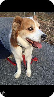 Collie/Golden Retriever Mix Dog for adoption in Bedford Hills, New York - Beau