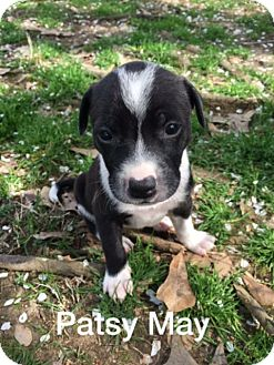 Border Collie/Labrador Retriever Mix Puppy for adoption in Olive Branch, Mississippi - Patsy May