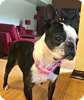 Boston Terrier Dog for adoption in Greensboro, North Carolina - Nahi