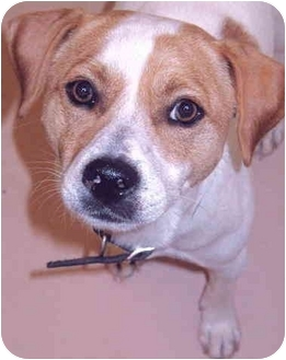 Jack Russell Terrier Mix Puppy for adoption in Grass Valley, California - Moose