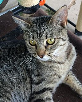 Domestic Shorthair Kitten for adoption in Amarillo, Texas - Hallie