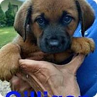 Adopt A Pet :: Gilligan - Jackson, TN