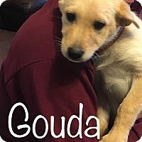 Adopt A Pet :: Gouda - Regina, SK