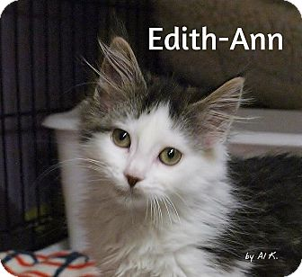 Domestic Mediumhair Kitten for adoption in Ocean City, New Jersey - Edith_Ann