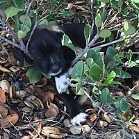 Adopt A Pet :: Socks - Encinitas, CA
