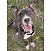 Adopt A Pet :: Bowen - Austin, TX