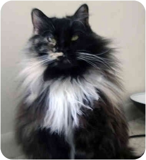 Domestic Longhair Cat for adoption in Troy, Michigan - Smudgie