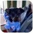 Photo 1 - Yorkie, Yorkshire Terrier Mix Dog for adoption in Foster, Rhode Island - Fozzie Bear