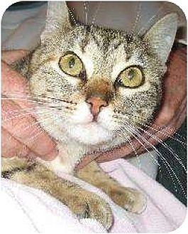 Domestic Shorthair/Domestic Shorthair Mix Cat for adoption in Schertz, Texas - Lucky (HL)
