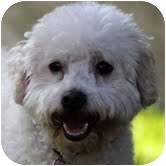Bichon Frise Dog for adoption in La Costa, California - Rocco