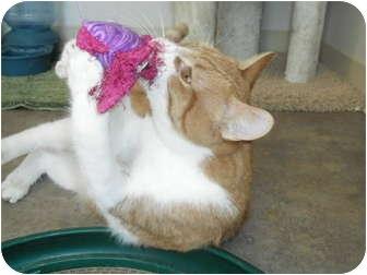 Domestic Shorthair Cat for adoption in Rock Springs, Wyoming - Felix