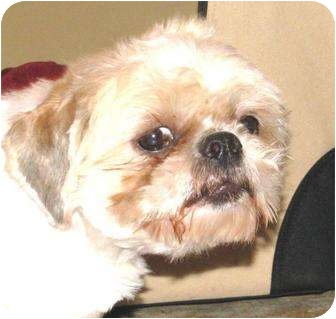 Lhasa Apso Dog for adoption in Winnetka, California - EMMA