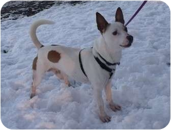 Jack Russell Terrier Dog for adoption in Bedford, Virginia - Jesse