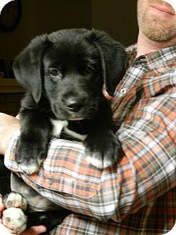Labrador Retriever/Newfoundland Mix Puppy for adoption in Troy, Michigan - Payton