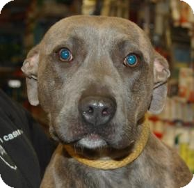 Pit Bull Terrier Mix Puppy for adoption in Brooklyn, New York - Mallory