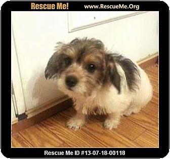 Havanese/Poodle (Miniature) Mix Puppy for adoption in Boulder, Colorado - Samuel