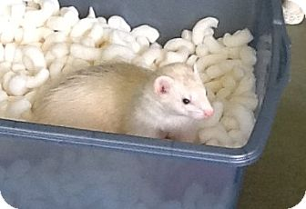 Ferret for adoption in Indianapolis, Indiana - Cleo