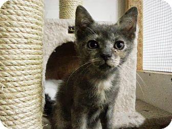 Domestic Shorthair Kitten for adoption in Trevose, Pennsylvania - Reba