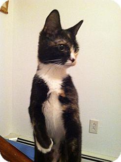Calico Kitten for adoption in Trevose, Pennsylvania - Asia