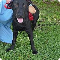Adopt A Pet :: Bo - St. Petersburg, FL