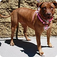 Adopt A Pet :: Brandy - Gilbert, AZ