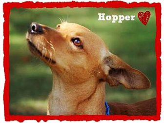 Chihuahua/Whippet Mix Dog for adoption in Chester, Connecticut - Hopper
